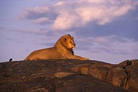 Male Lion Sitting on rock Africa