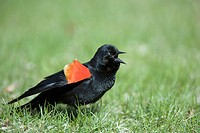 Red_winged Blackbird in territorial display, Agelaius phoeniceus, Botanical garden, Montreal, Province of Quebec, Canada, America