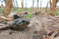 Common spadefoot, Pelobates fuscus, Germany, Europe