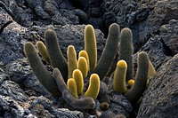 Lava cactus Brachycereus nesioticus on lava. This arid_adapted plant is one of the first to colonize the new lava fields found on the volcanic Galapag...