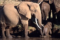 African Elephants, Loxodonta Africana, Mother and young