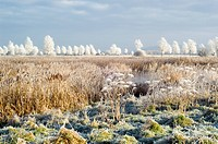 Morning frost. Hoar frost covering willow Salix sp. trees top and grass foreground, with common reeds Phragmites australis and bulrushes Typha sp., br...