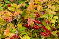 Guelder Rose Viburnum opulus showing autumn berries. Photographed in the Gurghiulu mountains in Romania.