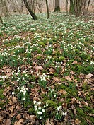 Snowdrops Galanthus in a deciduous wood in Dorset in the United Kingdom. Usually found near human habitation, this non_native plant gradually spreads ...