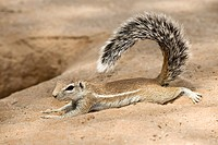 Cape ground squirrel Xerus inauris lying down with its tail in the air. This rodent lives in open arid areas of southern Africa. It is a social animal...
