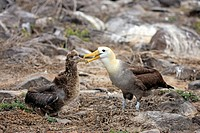 Waved Albatross Diomedea irrorata adult, feeding chick, Galapagos Islands