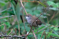 Spotted Bush_warbler Bradypterus thoracicus adult perched, Sichuan, China