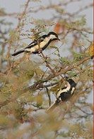 White_naped Tit Parus nuchalis adult pair, foraging in thorn bush, Gujarat, India, november