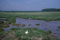 Avocet Recurvirostra avosetta Nesting habitat S