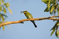 Rainbow Bee_eater Merops ornatus adult, feeding, with bee in beak, Fogg Dam, Northern Territory, Australia, september