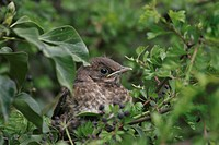 European Blackbird Turdus merula baby, sitting in mixed hedge of ivy and hawthorn