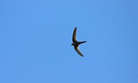 Plain Swift Apus unicolor adult, vagrant, in flight, Norfolk, England