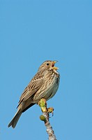 Corn Bunting Miliaria calandra adult, singing, perched on fig tree, Lesvos, Greece, april