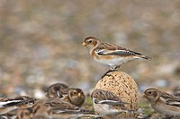 Snow Bunting Plectrophenax nivalis adult, perched on pebble amongst flock, Norfolk, England, winter