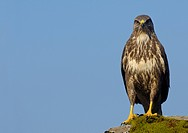 Common Buzzard Buteo buteo adult, perched on moss covered rock, Isle of Mull, Inner Hebrides, Scotland, october