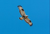 Rough_legged Buzzard Buteo lagopus adult in flight, Hardanger Vidda, Norway, june
