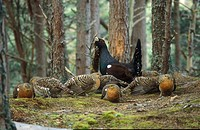 Western Capercaillie Tetrao urogallus Male displaying to females at lek, Scotland