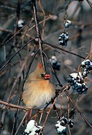 Northern Cardinal Cardinalis cardinalis adult female feeding on Fox Grapes, Michigan, U S A , december