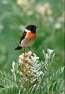 Siberian Stonechat Saxicola maurus adult male, perched on flowerhead, Lake Alakol, Kazakhstan, june