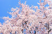 Cherry Blossoms Blooming in Springtime