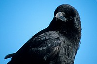 Northwestern Crow Corvus caurinus close_up of head, Homer, Alaska, U S A