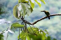 An emerald toucanet, Aulacorhynchus prasinus, perched on a cecropia tree branch  Photographed in the mountains of Costa Rica