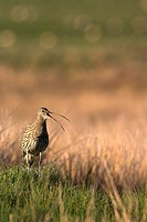 Eurasian Curlew Numenius arquata adult, calling, standing on grassy tussock in breeding area, Lammermuir Hills, Borders, Scotland, spring