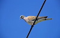 Eurasian Turtle_dove Streptopelia turtur adult, perched on overhead wire, Yorkshire, England