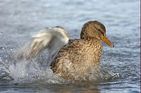 Mallard Duck Anas platyrhynchos adult female, bathing, splashing water, Oxfordshire, England