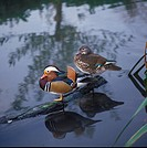 Mandarin Duck Aix galericulata Close_up _ pair standing on log in water S