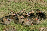 Northern Shoveler Anas clypeata group of ducklings resting