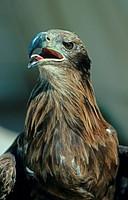 Pallas´s Sea_eagle Haliaeetus leucoryphus adult, close_up of head, beak open