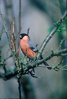 Bullfinch P pyrrhula Male perched on twig England
