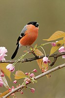 Bullfinch Pyrrhula pyrrhula adult male, perched on branch with blossom, South Yorkshire, England, spring