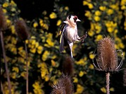 Goldfinch Carduelis carduelis Flying onto teasle S
