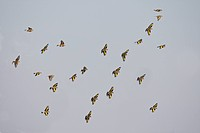 European Goldfinch Carduelis carduelis and Eurasian Linnet Carduelis cannabina mixed flock in flight, Spain, winter