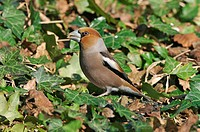 Hawfinch Coccothraustes coccothraustes adult male, feeding on seeds, on ivy covered bank, Arundel, West Sussex, England, march