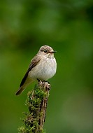 Spotted Flycatcher Muscicapa striata Perched on prominant place to catch flies _ West Sussex, England