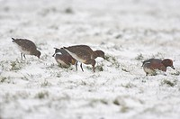 Bar_tailed Godwit Limosa lapponica feeding with Eurasian Wigeon Anas penelope in snow on coastal grazing marsh, Norfolk, England, december