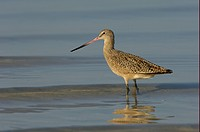 Marbled Godwit Limosa fedoa adult, standing in shallow water, Florida, U S A