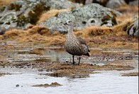 Blue_winged Goose Cyanochen cyanopterus adult, standing in upland bog, Bale Mountains N P , Oromia, Ethiopia, april