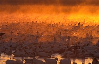 Snow Geese Anser caerulescens Large group _ at dawn _ Bosque del Appache _ New Mexico