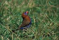 Purple Grenadier Uraeginthus ianthinogaster Feeding on grass seeds _ Kenya