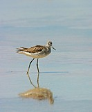 Greenshank Tringa nebularia Wading in water, Cyprus