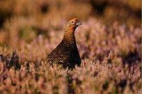 Red Grouse Lagopus lagopus scoticus Male in heather, Yorkshire, England