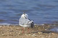 Black_headed Gull Larus ridibundus adult, winter plumage, preening, standing at edge of lake, Warwickshire, England, summer