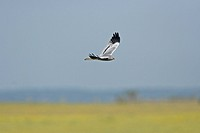 Montagu´s Harrier Circus pygargus adult male, in flight, over nesting field, Extramadura, Spain, may
