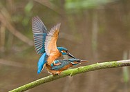Common Kingfisher Alcedo atthis adult pair, mating on branch, England, march
