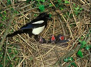 Common Magpie Pica pica adult with young, at nest in hawthorn bush, England
