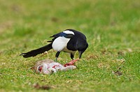 Common Magpie Pica pica adult, feeding on dead rabbit, Kent, England